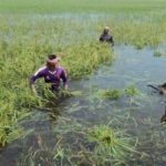 মনোহরগঞ্জে ভারী বর্ষণে জনজীবন বিপর্যস্ত, ফসলি জমি তলিয়ে যাচ্ছে