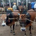 দেশি গরুতে জমজমাট মনোহরগঞ্জের কোরবানির হাট