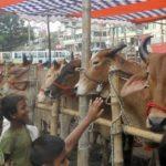 লাকসামে ভারতীয় গরুতে হাট-বাজার সয়লাব