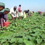 'মুরাদনগরে খিরা চাষে সফলতা' নয় গ্রামের কৃষকের মুখে হাসি