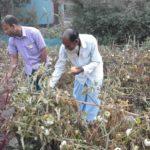 টমেটো চাষ করে সাবলম্বী শাহরাস্তির কৃষক ফজলুল হক