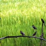 মতলবে পার্চিং পদ্ধতিতে ধানের ক্ষতিকর পোকা খাচ্ছে পাখি