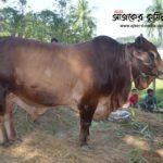 কোরবানির হাট কাঁপাবে কুমিল্লার নবাব