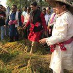 নবান্ন উৎসবে ধান কাটলেন কুমিল্লা জেলা প্রশাসক
