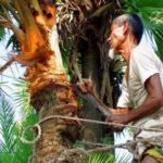 কুমিল্লায় খেজুরের রস সংগ্রহে গাছিদের ব্যস্ত সময়পার