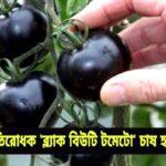 ক্যান্সার প্রতিরোধক 'ব্ল্যাক বিউটি টমেটো' চাষ হচ্ছে কুমিল্লায়