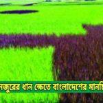 কুমিল্লায় মনজুরের ধান ক্ষেতে বাংলাদেশের মানচিত্র ও পতাকা !