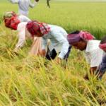 কুমিল্লায় বোরো ধানের বাম্পার ফলন;কৃষকেরা ধান কাটতে ব্যাস্ত সময় পার করছে