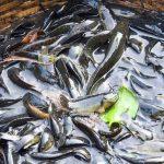 কুমিল্লায় হারাচ্ছে হরেকরকম দেশীয় মাছ