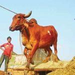 ভারতীয় গরু-ছাগল না আসায় খুশি কুমিল্লার খামারিরা