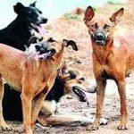 কুমিল্লায় কুকুরের কামড়ে অর্ধশতাধিক মানুষ আহত