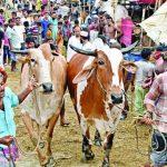 কুমিল্লায় এবার ৩৯৩ স্থানে বসবে গরুর হাট