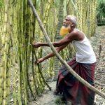 কুমিল্লায় আখের ভালো দামে খুশির ঝিলিক
