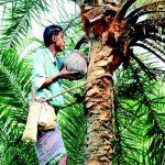 খেজুর গাছ পরিচর্যায় ব্যস্ত কুমিল্লার গাছিরা
