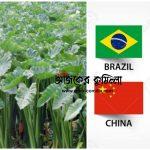 কুমিল্লার কচুর লতি ২৫ দেশে রপ্তানি হচ্ছে