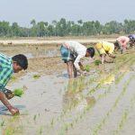 কুমিল্লার কৃষিকে সমৃদ্ধ করছে বহিরাগত শ্রমিকরা