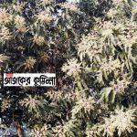 কুমিল্লার চান্দিনায় ফাগুনের স্নিগ্ধ বাতাসে সুবাস ছড়াচ্ছে স্বর্ণালি আমের মুকুল