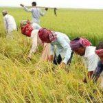 ধান কাটতে রংপুর থেকে ১ হাজার শ্রমিক আসছে কুমিল্লাসহ ২ জেলায়