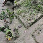 কুমিল্লার বরুড়ায় গাছের সাথে এ কেমন শত্রুতা, অর্ধশতাধিক ফলজ গাছ কেটে ফেলেছে দূর্বৃত্তরা