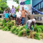 ব্রাহ্মণপাড়ায় আমন ধানের চারার হাট জমজমাট