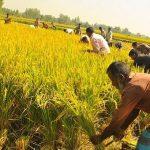 আমনের ফলন নিয়ে ঘুরে দাঁড়ানোর স্বপ্ন কুমিল্লার কৃষকদের