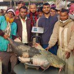 পদ্মার ৮০ কেজি ওজনের বাঘাইর বিক্রি হলো ৫৫ হাজার টাকায়