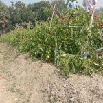 চৌদ্দগ্রামে রাতের আঁধারে ৮ শতক জমিনের টমেটো ক্ষেত কেটে ফেলেছে দুর্বৃত্তরা