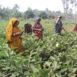 কুমিল্লায় বিষমুক্ত ৮টি সবজি গ্রাম