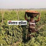 কুমিল্লার চান্দিনায় টমেটোর বাম্পার ফলন, দাম নিয়ে হতাশায় কৃষক
