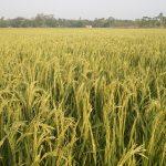 মনোহরগঞ্জে বোরো ধানের বাম্পার ফলন: কৃষকের মুখে রঙিন হাসি