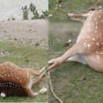 ঘূর্ণিঝড় ইয়াস ও পূর্ণিমার জোয়ারে মারা যাচ্ছে সুন্দরবনের প্রাণীরাও: তিনটি মৃত হরিণ উদ্ধার