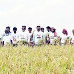 মুরাদনগরে শ্রমিক সংকটে কৃষকের ধান কেটে দিল কৃষকলীগ