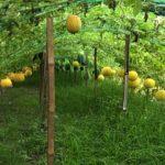 বরুড়ায় রাজু আহমেদ মানিকের উদ্যোগে হলুদ তরমুজের বাম্পার ফলন