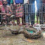 কুমিল্লার চৌদ্দগ্রামে কৃষি জমি থেকে ৮ ফুট লম্বা অজগর উদ্ধার