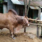 চৌদ্দগ্রামে ঈদের বাজারে প্রস্তুত ২০ মণ ওজনের সম্রাট